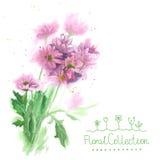 Букет фиолетовых хризантем акварели Стоковое Изображение RF