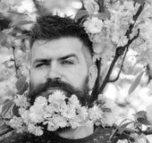 Букет цветения Сакуры в бороде Парикмахер и концепция ухода за волосами Человек с бородой и усик на хитро стороне около пинка стоковые изображения rf