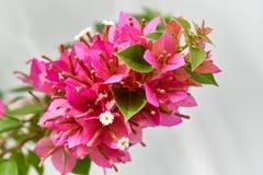 Букет цветка красной бугинвилии зацветая с зелеными листьями стоковое фото rf