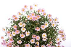Букет цветка маргаритки Стоковые Изображения