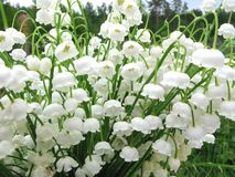 Букет цветков ландыша Стоковые Изображения RF