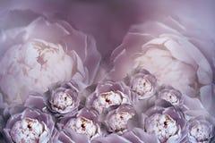 Букет цветков фиолетовых белых пионов на расплывчатой предпосылке полутонового изображения Винтажный состав цветка карточка 2007  Стоковые Изображения