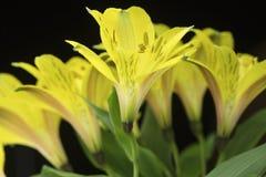 Букет ярких желтых перуанских лилий Стоковое фото RF