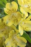 Букет ярких желтых перуанских лилий Стоковое Фото