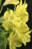 Букет ярких желтых перуанских лилий Стоковые Изображения RF