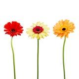 Букет цветков gerber на белой предпосылке Стоковое Изображение