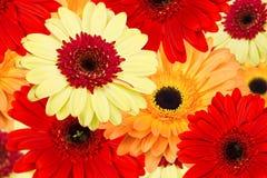 Букет gerber цветет предпосылка Стоковое Изображение RF