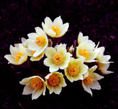 Букет patens Pulsatilla цветков Стоковые Изображения RF