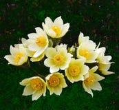 Букет patens Pulsatilla цветков Стоковое фото RF