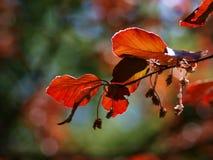 Бук весны Стоковые Фотографии RF