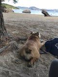 Бульдог на playa Ла стоковые фотографии rf
