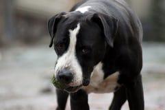 Бульдог собаки играет в ландшафте зимы стоковая фотография rf