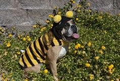 Бульдог путает пчела Стоковое Фото
