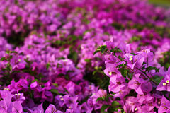 бумага цветка бугинвилии Стоковая Фотография RF