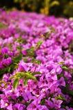 бумага цветка бугинвилии Стоковое фото RF