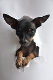 Бумага Terrier игрушки Стоковые Фотографии RF