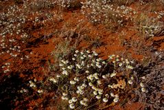 Бумажные маргаритки в австралийской пустыне стоковые фото