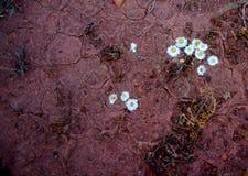 Бумажные маргаритки и треснутая грязь Стоковая Фотография RF