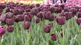 Бургундские тюльпаны в саде стоковые изображения