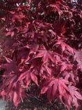 Бургундские цветки - листья осени стоковое фото