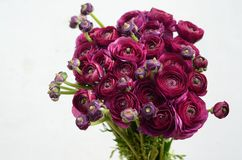 Бургундский цветок пиона на белой предпосылке стоковые фотографии rf
