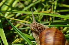 Бургундская улитка в траве Стоковая Фотография