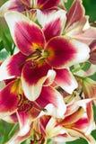 Бургундские цветки лилий в саде Стоковое Изображение RF