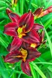 Бургундские цветки лилий в саде Стоковая Фотография