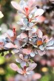 Бургундский, красный цвет и фиолетовый листь куста барбариса Стоковое фото RF