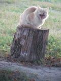 Бурить: зевая кот стоковые фотографии rf