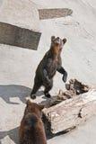 2 бурого медведя на зоопарке (arctos arctos Ursus) Стоковая Фотография