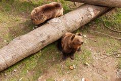 2 бурого медведя на стволе дерева Стоковые Фото