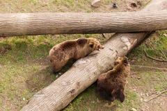 2 бурого медведя на стволе дерева Стоковые Изображения RF