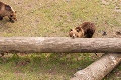 2 бурого медведя на стволе дерева Стоковое фото RF