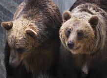 2 бурого медведя (arctos arctos Ursus) Стоковые Фотографии RF