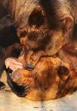 2 бурого медведя (arctos Ursus) играя в зоопарке Стоковые Фото
