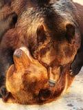 2 бурого медведя (arctos Ursus) играя в зоопарке Стоковые Изображения