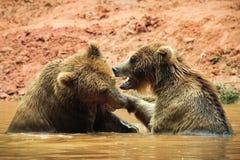 Бурые медведи в воде Стоковые Изображения