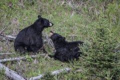 Бурые медведи имея горячую дискуссию Стоковая Фотография