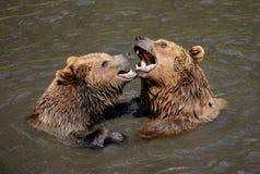 Бурые медведи Стоковое Изображение RF