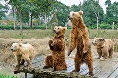 Бурые медведи Стоковые Изображения RF