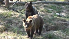 Бурые медведи видеоматериал
