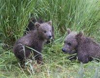 Бурые медведи Katmai; Падения ручейков; Аляска; США Стоковое Изображение RF