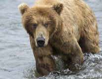 Бурые медведи Katmai; Падения ручейков; Аляска; США Стоковые Изображения