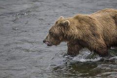 Бурые медведи Katmai; Падения ручейков; Аляска; США Стоковые Фото