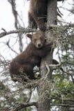 Бурые медведи Katmai; Падения ручейков; Аляска; США Стоковое фото RF