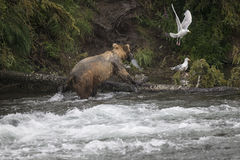 Бурые медведи Katmai; Падения ручейков; Аляска; США Стоковое Изображение