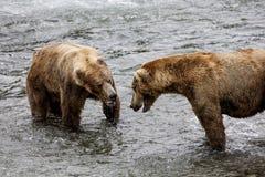 Бурые медведи Katmai; Падения ручейков; Аляска Стоковые Фото