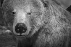 Бурый медведь в Аляске в черно-белом Стоковая Фотография RF