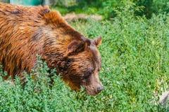 Бурый медведь в лесе стоковая фотография rf